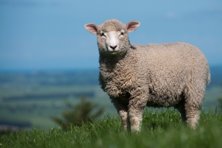 Large Lamb photo