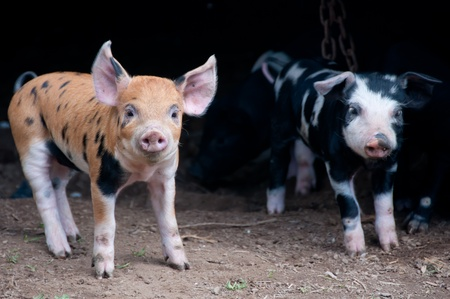 Piglets Stock Photo - 11398281