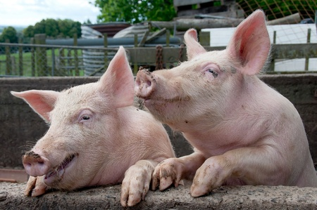 sows: Two funny pigs Stock Photo