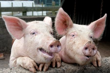 animales de granja: Cerdos divertidos Foto de archivo
