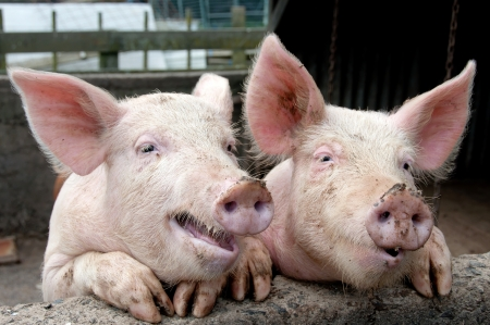 pigs: Funny pigs Stock Photo