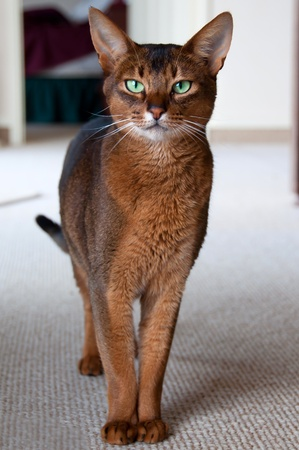 abyssinian cat: Abyssinian cat with green eyes