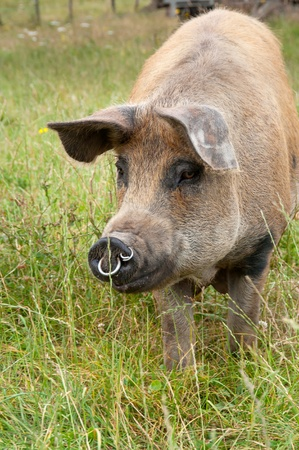 Pig walking forwards Stock Photo