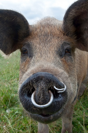 Pig snout with rings in to stop digging up pasture Stock Photo - 12291879