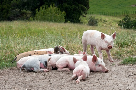 piglets: Free range piglets resting and sleeping in paddock Stock Photo