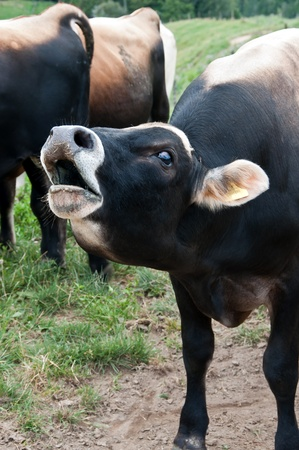 jersey cattle: Bull cow bellowing