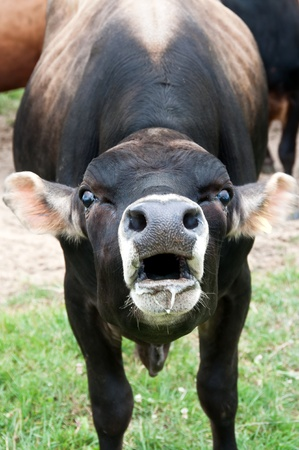 bellowing: Jersey bull with mouth open Stock Photo
