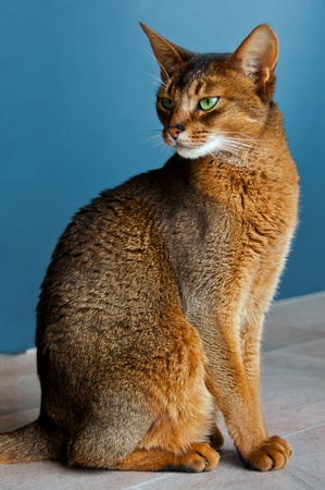 Abyssinian cat with green eyes