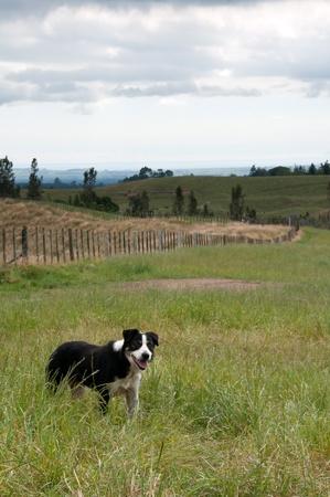 Border collie farm dog in paddock Stock Photo