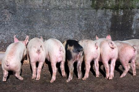 piglets: Piglets at trough eating