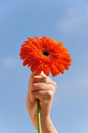 Hand holding a gerdera flower
