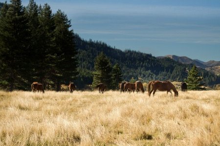 grasses: Horses grazing in tussock grasses