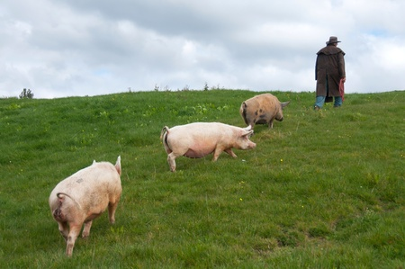 Pigs following farmer through paddock