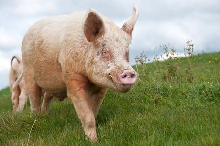 siembra: cr�a de cerdos blancos de gran jabal�