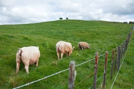Free range pigs roaming in the paddock Stock Photo