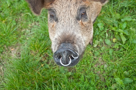 Pig snout with rings in Stock Photo - 13553500