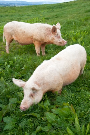 Free range pigs in paddock grazing Stock Photo