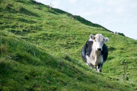 Cow on side of hill Stock Photo