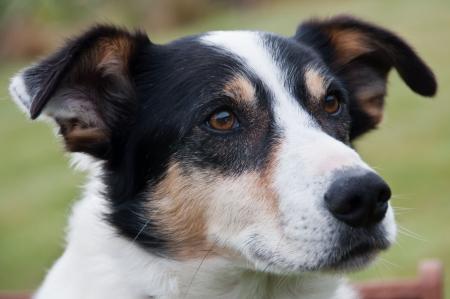 short hair dog: Farm dog Stock Photo