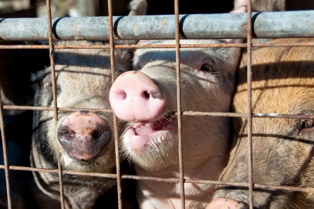 cruelty: Pigs behind a gate