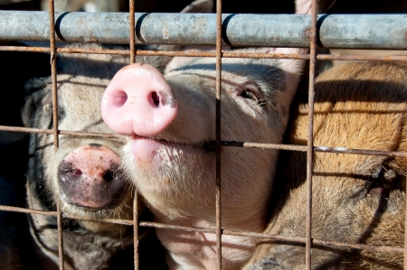 cruelty: Pig snout through gate on enclosure Stock Photo