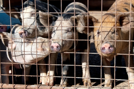 cruelty: Pigs in a cage Stock Photo
