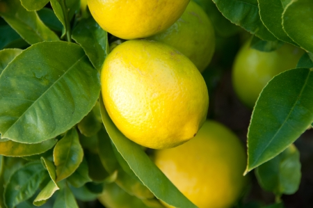 lemon tree: Lemon Tree