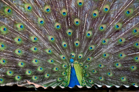 Peacock with fanned out feathers  Stock Photo