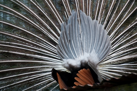 Peacock feathers fanned out Stock Photo