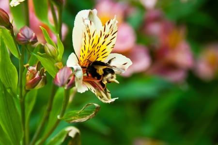 Bee sammeln Pollen