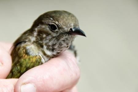 native bird: Pipiwharauroa el cuco brillando Nueva Zelanda aves nativas Foto de archivo