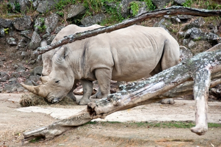 White Rhinoceros Stock Photo - 17234833