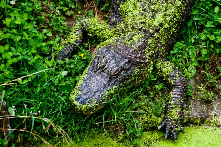 Alligator with pond moss Stock Photo - 17234785