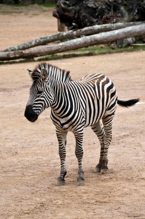 Zebra Stock Photo - 17234777