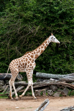 Giraffe Stock Photo - 17234806