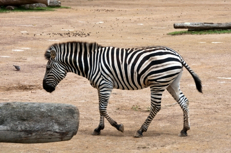 Zebra walking Stock Photo