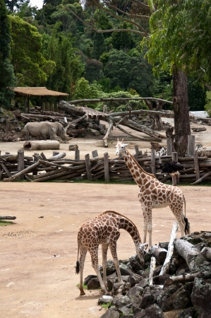 Giraffe and rhinoceros enclosures at zoo