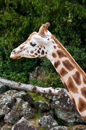 Giraffe Stock Photo - 17234744