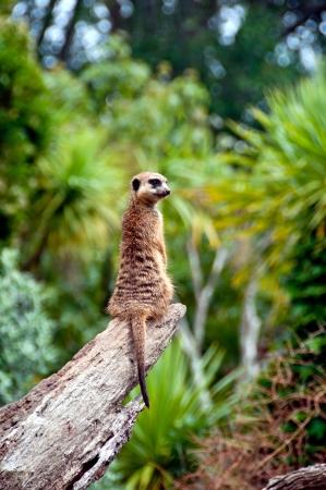 Meerkat watching for danger