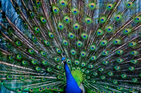 Peacock with feathers displayed