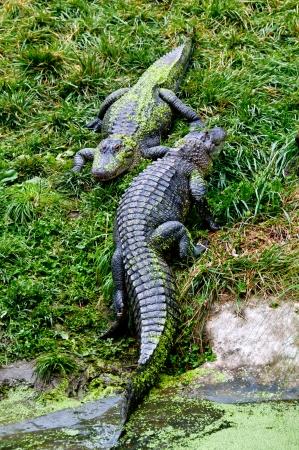 Alligators resting by pond