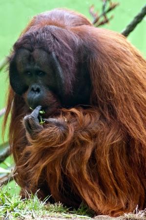 Orangutan eating beans Stock Photo