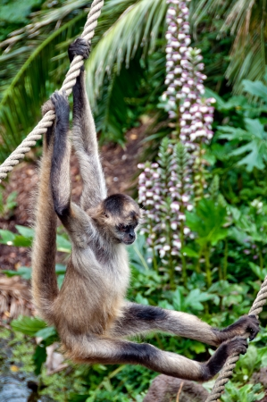 Monkey hanging onto ropes Stock Photo - 17234781