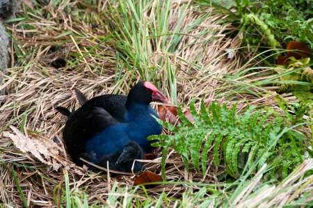 Swamp hen or New Zealand Pukeko and chick photo