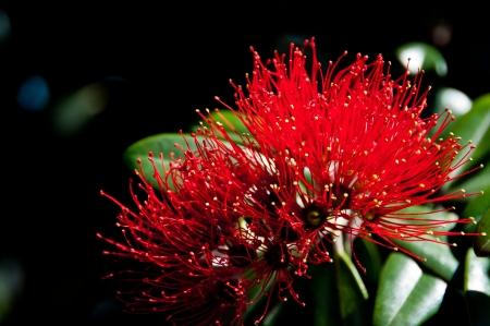 Pohutakawa flower from New Zealand Christmas tree