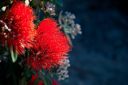 Pohutakawa flower from New Zealand Christmas tree