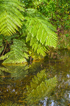 New Zealand bush with ferns draping in the water Stock Photo