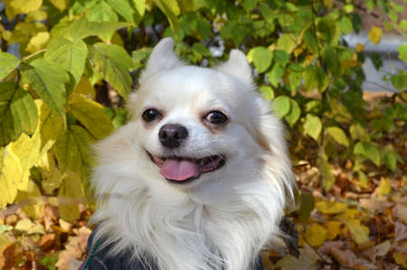 Portrait of a white long-haired chihuahua dog among the autumn foliage