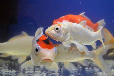 Bright fish koi carps of different colors swim in an aquarium on a blue background Stock Photo