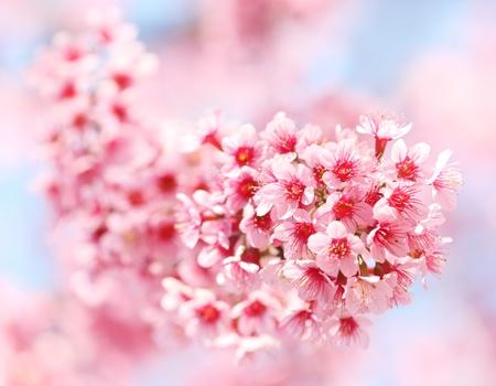 sakura flowers in Thailand Stock Photo - 13782213